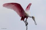 Roseate Spoonbill Balancing