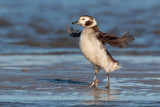 Long-tailed Duck Wing Flap After Preening