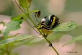 Magnolia Warbler Eating Bugs
