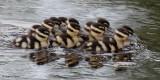 Black-bellied Whistling Ducklings