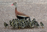 Black-bellied Whistling Duck and 26 Ducklings