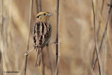 LeConte's Sparrow