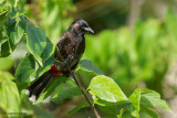 Red-vented Bulbul - Exotic Invasive