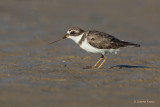 Semipalmated Plover - worm