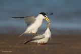 Least Terns - 1. Fish Presentation