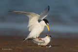 Least Terns - 3. What to Do?