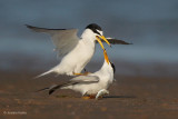 Least Terns - 2. Dropped Fish