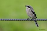 Loggerhead Shrike - Juve