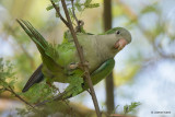 Monk Parakeet - Invasive