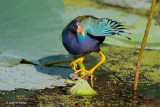 Purple Gallinule on Lotus