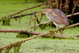 Least Bittern with Frog