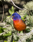 5F1A1196 Painted Bunting Q.jpg