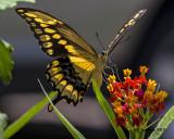 5F1A4217 Giant Swallowtail.jpg