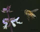 5F1A4904 Honey Bee.jpg