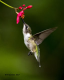5F1A7276 Ruby-throated Hummingbird.jpg