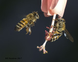 5F1A9000 Honey Bee.jpg