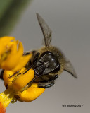 5F1A9598 Honey Bee.jpg