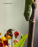 5F1A9733 Anole and Bee.jpg