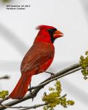 _MG_3600 Northern Cardinal.jpg