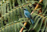 Mountain Verditer-Flycatcher (Eumyias panayensis, resident, male)  Habitat - Mountain forests above 800 m.   Shooting info - Elev. 1526 m ASL, Camp John hay Eco Trail, Baguio City, October 1, 2017, 7D MII + EF 400 DO IS II + 1.4x TC III,  560 mm, f/5.6, 1/250 sec, ISO 1250, manual exposure in available light, hand held, major crop resized to 1500 x 1000.