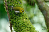 Mountain White-eye (Zosterops montanus, resident)  Habitat - All forest types above 1000 m.   Shooting info - Elev. 1526 m ASL, Camp John hay Eco Trail, Baguio City, October 1, 2017, 7D MII + EF 400 DO IS II + 1.4x TC III,  560 mm, f/5.6, 1/250 sec, ISO 2500, manual exposure in available light, hand held, major crop resized to 1500 x 1000.