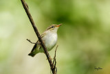 Arctic Warbler (Phylloscopus borealis, migrant)  Habitat - Variety of forest types at all levels and elevations.   Shooting info - Elev. 1526 m ASL, Camp John hay Eco Trail, Baguio City, October 1, 2017, 7D MII + EF 400 DO IS II + 1.4x TC III,  560 mm, f/5.6, 1/320 sec, ISO 2500, manual exposure in available light, hand held, near full frame resized to 1500 x 1000.