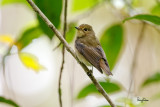 Narcissus Flycatcher (Ficedula narcissina, migrant, female)  Habitat - Rare in forest, second growth and mangroves.   Shooting info - Elev. 1526 m ASL, Camp John hay Eco Trail, Baguio City, October 1, 2017, 7D MII + EF 400 DO IS II + 1.4x TC III,  560 mm, f/5.6, 1/320 sec, ISO 2500, manual exposure in available light, hand held, uncropped full frame resized to 1500 x 1000.