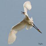 Little Egret (Egretta garzetta, migrant)  Habitat: Coastal marsh and tidal flats to ricefields.  Shooting Info - Candaba, Pampanga, Philippines, October 20, 2017, EOS 7D MII + EF 400 DO IS II, 400 mm, f/5.6, 1/3200 sec, ISO 320, manual exposure in available light, hand held, major crop resized to 1000 x 1000.