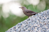 Blue Rock-Thrush (Monticola solitarius, migrant, female)   Habitat - Rocky exposed slopes, road cuts, and along rocky streams and rivers.   Shooting Info - Bued River, Rosario, La Union, Philippines, November 4, 2017, EOS 7D MII + EF 400 DO IS II + EF 1.4x TC III,  560 mm, f/5.6, 1/200 sec, ISO 640, manual exposure in available light, hand held, major crop resized to 1500 x 1000.