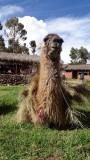 Chinchero Village Llama