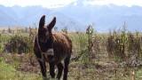 Maras Donkey