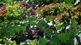 Urubamba Vegetable Garden