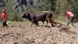 Farmers ploughing a field with bulls