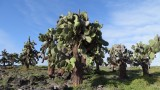 South Plaza Island Cactus Trees