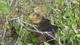 Land Iguana Climbing
