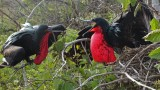 Male Great Frigatebirds challenging for territory