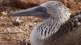 Nesting Blue Footed Booby
