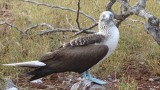 Blue Footed Booby posing for a picture