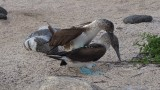 Blue Footed Boobys Mating