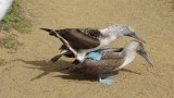 Mating Blue Footed boobies