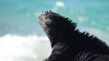 Sunbathing Marine Iguana