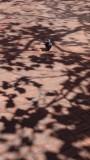 Market Street Pigeon