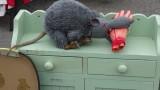 Big Rat