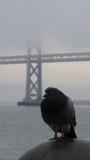 Embarcadero Pigeon