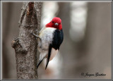 Pic a tête rouge ( Red-Headed Woodpecker )