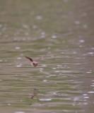 Watervleermuis / Daubenton's Bat