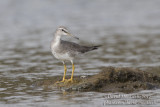 GALLERY OF THE MONTH -- Azores Delight: Grey-tailed Tattler on Terceira Island in July-August 2017