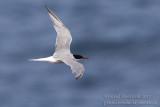 Common Tern (Sterna hirundo)_Ponta das Contendas, Terceira Is., Azores