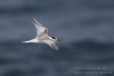 Common Tern fledgling (Sterna hirundo)_Ponta das Contendas, Terceira Is., Azores