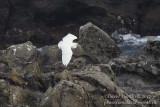 Snowy Egret (Egretta thula)_Ponta das Contendas, Terceira Is., Azores